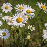 daisies, flowers, bloom