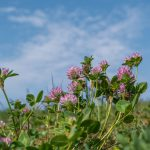 klee, red clover, plant